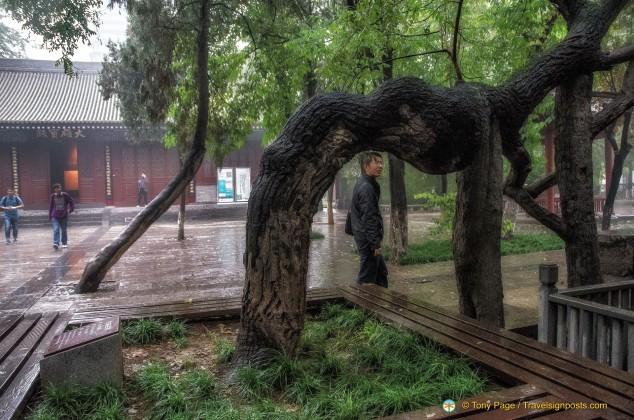 Ancient Pagoda Tree